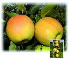 Саженцы яблони Орион ®