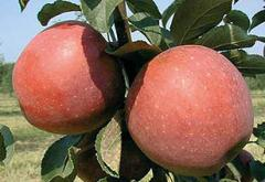 Саженцы яблонь Ремо