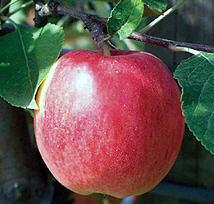 Саженцы яблони Реглиндис