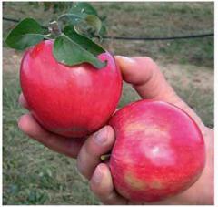 Саженцы яблони Реанда