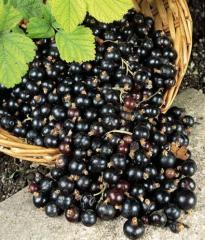 Berries fresh, berries, currant, blackcurrant,