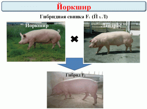 F1 for production of commodity livestock