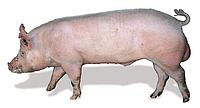 Yorkshire (Large White) YY, male pig