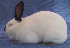 Californian Rabbit, broiler