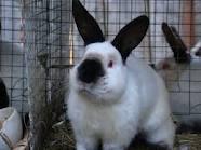 The Californian Rabbit, I will sell