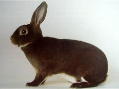 Rabbit kastor Rex