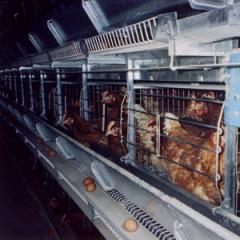 Sets of the equipment for keeping of laying hens