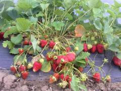 ALBION - seedling of strawberry frigo cassette