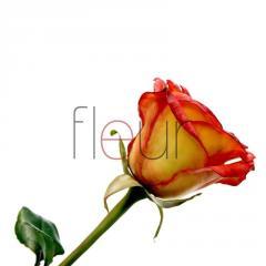 Алая роза 01-0001