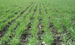 Canadian soft winter wheat Lenox (class - Elite)