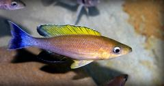 Tsiprikhromis Cyprichromis