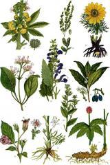 Grass medicinal
