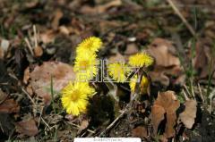 Meadowsweet root (gadyuchnik)