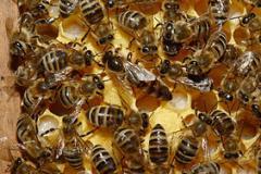 Пчелиные семьи,  купить пчел