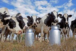 Крупный рогатый скот молочных пород (нетели)