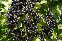 Смородина черная, ягоды смородины, плоды