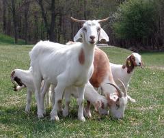 Животные домашние Козы, Свиньи, Овцы.