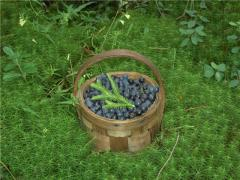 Bilberry, fresh berries Ukraine