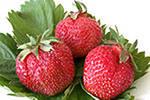 Strawberry saplings