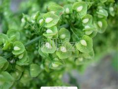Семена зеленых культур