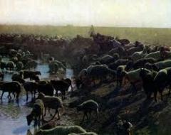 Племенные овцы