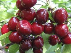 Sweet cherry Valery Chkalov