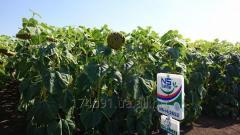 Семена (Гибрид) подсолнечника (Подсолнуха) под Гранстар НСХ 2652