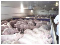 Свиньи товарные на забой