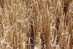 Семена ярового ячменя Аграрий элита