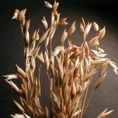Семена овса Нептун