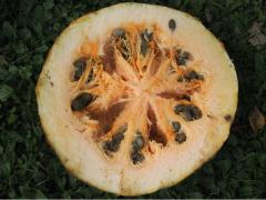 Посевные семечки тыквы