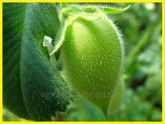 Семена нут Розана 1 р.