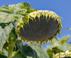 Семена подсолнечника Метеор КЛ (под Евролайтинг)