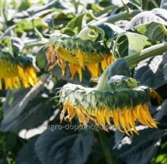 Семена подсолнечника Тор КЛ