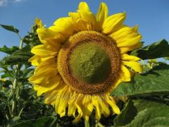 Семена подсолнечника Гектор (стандарт) / посевной материал
