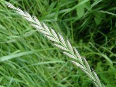 Насіння кормових трав