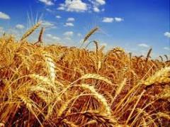 Пшеница, 5 тонн