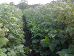 Saplings of raspberry high-yielding