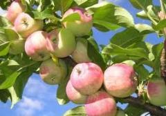 Яблок саженцы