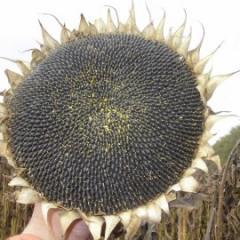 Семена подсолнуха под евролайтинг Арлет (посевной материал)