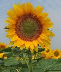 Семена подсолнечника ТЕО (под Евролайтинг)