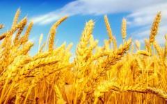 El trigo VI clase