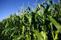 Corn on grain