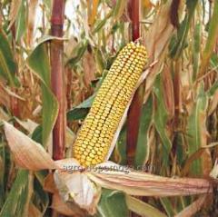 Семена кукурузы НС-444