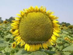 Accept seeds of sunflower