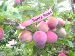 Саженцы сливы Санта Роза