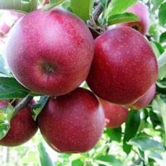 Саженцы яблонь Джонагол Принц