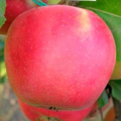 Саженцы яблонь Дельбара Юбилеум