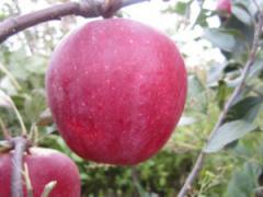 Саженцы яблонь Бени Шогун