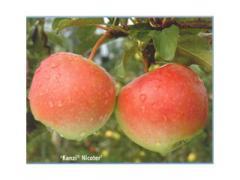 Саженцы яблонь Канзи